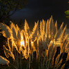 Pampas Grass Sunrise-7