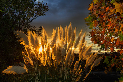 Pampas Grass Sunrise-4