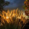 Pampas Grass Sunrise-4