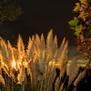 Pampas Grass Sunrise-9