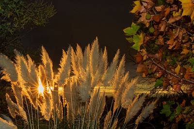 Pampas Grass Sunrise-11
