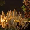 Pampas Grass Sunrise-11