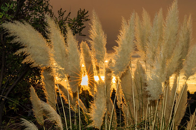 Pampas Grass Sunrise-12