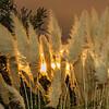 Pampas Grass Sunrise-12