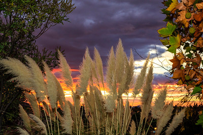 Pampas Grass Sunrise-2