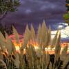 Pampas Grass Sunrise-2