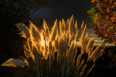 Pampas Grass Sunrise-8