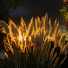 Pampas Grass Sunrise-8