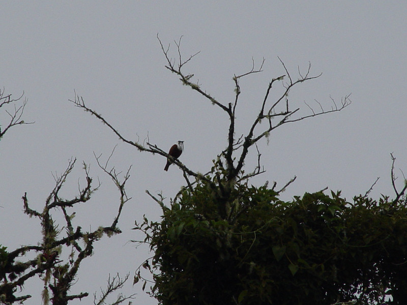 Three-waddled bell-bird II