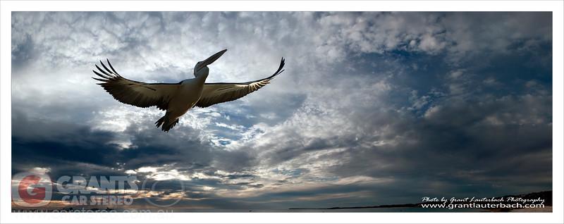 Pelican in flight. (composite image)