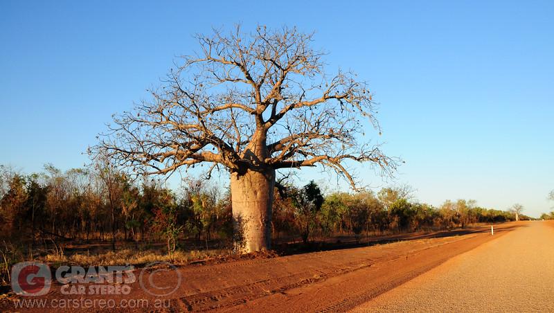 A giant Boab tree near Derby, Western Australia.