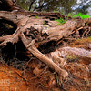 Fallen tree near Bells rapids in the Swan Valley, Western Australia.