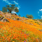 """""""California Poppies near Yosemite National Park"""" I love nothing more than spring in Yosemite as the poppies start coming out!! Depending on the year the poppies can go from being just a few patches to golden carpets from the bottom to the top of hills! These were captured along highway 140 into Yosemite a couple of years ago when it was just breathtaking to see how many poppies were everywhere! Who is ready to go to Yosemite?! This is a panorama comprised of 6 images to make a poppy panorama! This was captured with my old Nikon D300 at 20mm, f/16 and 1/20th of a second. Please share if you enjoy and share if you make it to YOSEMITE!<br /> Copyright John Harrison Photography — at Yosemite National Park."""