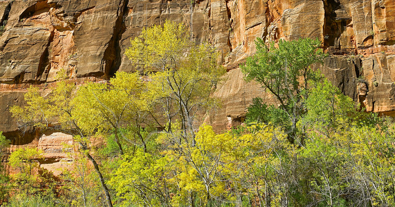 Panorama - Fall Cottonwood Trees,<br /> Zion National Park, Utah