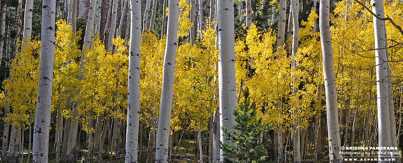 Aspen in Lockett Meadow