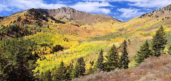 Aspens on display in Mill A Basin on the slopes of Mount Raymond and Gobbler's Knob in Big Cottonwood Canyon, 2012