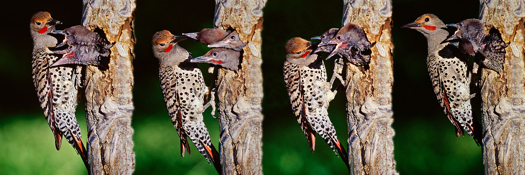 Action sequence panorama of a northern flicker feeding its young at the nest, by Bill.  the original captures were on film.