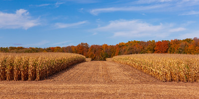 Corn Field In The Fall