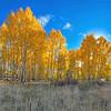 Hart Prairie Aspen