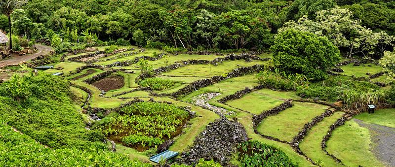 Kauai moment in Time - Taro Farming Non GMO
