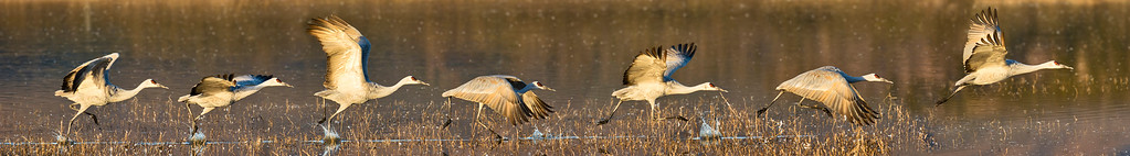 Phyllis created this action sequence panorama of a sandhill crane on its morning takeoff.  Bosque del Apache National Wildlife Refuge