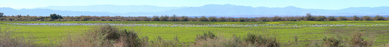 Wister Snow Geese
