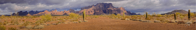 KOFA Reserve Saguaros