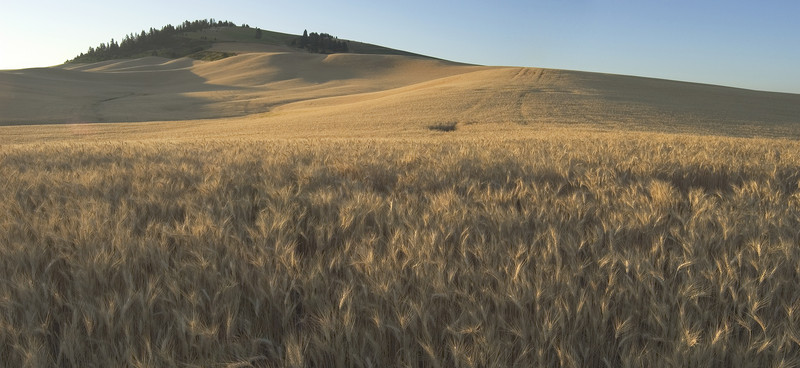Palouse wheat fields in summer