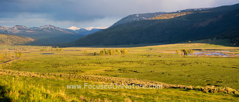 Lamar Valley Bison Herd