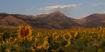 Panoramic Image Sunflowers and the Bridger Mountains Ross Peak north of Bozeman Montana. Photographer Jim R Harris