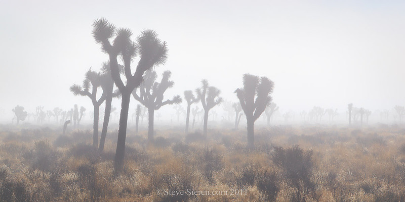 Joshua trees in fog at Joshua Tree National Park in the Mojave Desert