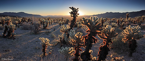 Backlit cholla cacti at sunrise - Joshua Tree National Park