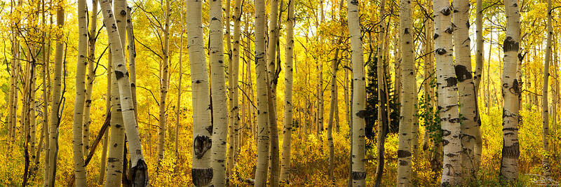 Aspens of the West