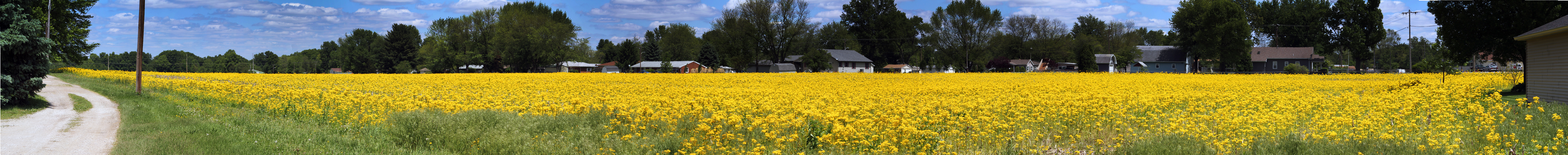 """""""Field of Yellow"""" - 14 image panorama taken on Sunday, May 9, 2010 from the parking lot of the Rock Church of the Wabash Valley, Terre Haute, Indiana (8930 U.S. 40 Terre Haute, IN 47803) facing northeast."""