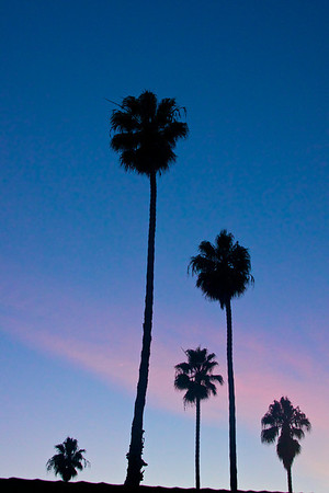 Five palm tree sihlouettes stretch into the evening sky above Malibu, California.