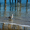 An individual seagull stands in the tiny waves of the Pacific Ocean.