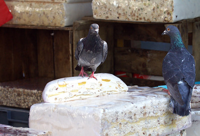 Pigeons and Torrone