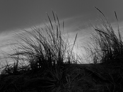 19Feb2012.  Parker River NWR.  Dune grass.  Taken with Nikon D90 and Nikkor 24-70 mm lens.  Processed with Adobe Photoshop CS5 and Nik Silver Efex Pro 2.