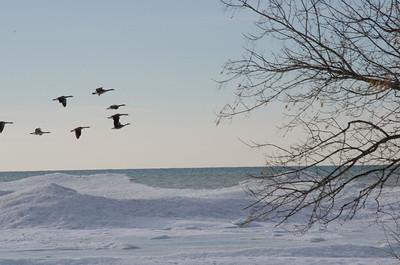 Canada Geese at Presqu'ile Provincial Park