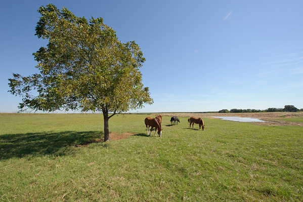 Horses and mules grazing on coastal bermuda pasture on Walking M Ranch in Baylor County near Seymour, Texas.