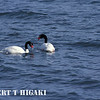 Black-Necked Swan ( Cygnus melancoryphus )