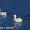 Coscoroba Swan( Coscoruba coscoroba)