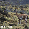 Guanaco( Lama guanicoe)  Watch out for these guys- they can spit at you.