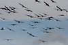 Torres del Paine National Park, Chile. 2009. Large flock of Andean condors.