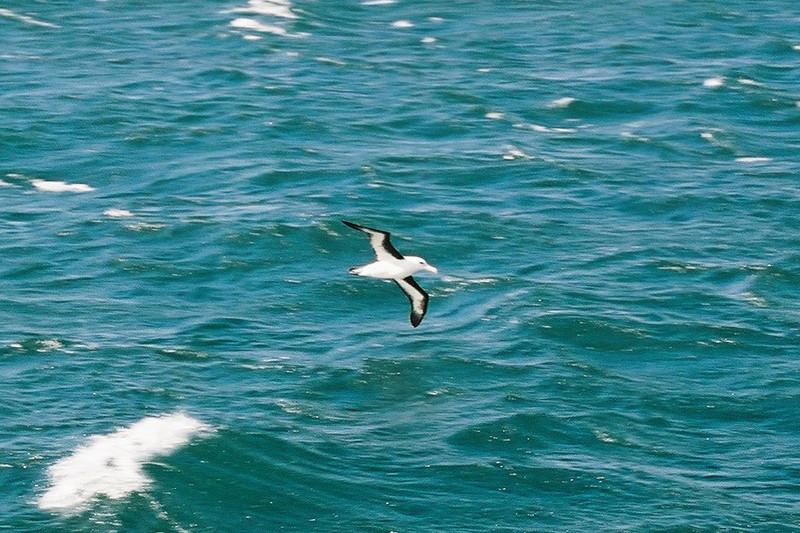 Black-browed Albatross, Beagle Channel.