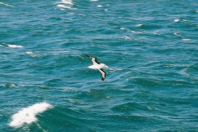 Black-browed Albatross, Beagle Channel.