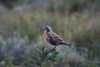 Torres del Paine National Park, Chile. 2009.  Some type of meadowlark?