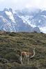 Torres del Paine National Park, Chile. 2009. Guanaco.