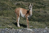 Torres del Paine National Park, Chile. 2009. Young guanaco.