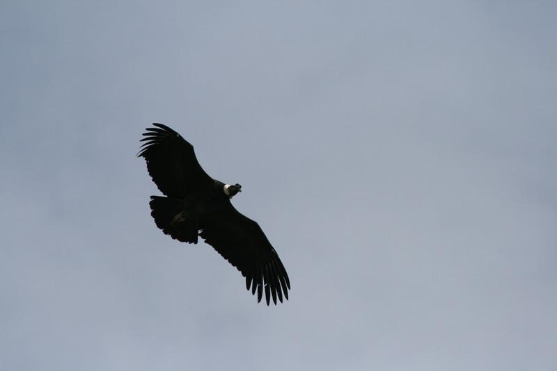 Torres del Paine National Park, Chile. 2009. Andean condor.